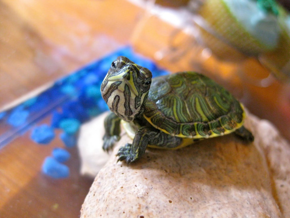 Pet Turtle | Reptile and Exotic pet vet | New York