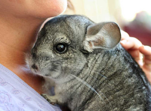 10 Reason to Get a Pet Chinchilla this Christmas
