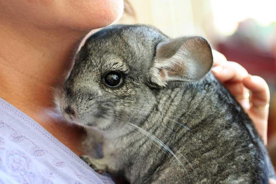 Chinchilla | Exotic Pet Vet