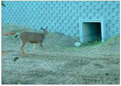 deer_1349057192