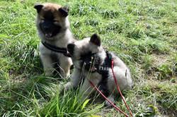 Alasca (stehende Ohren) und Ayko