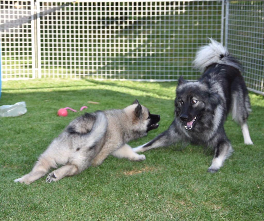 Alasca beim spielerischen Kampf mit Mami