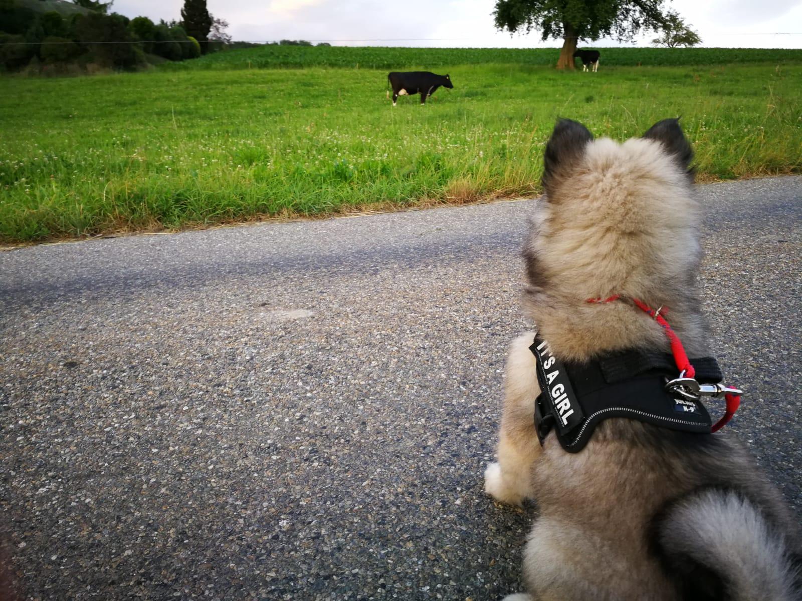 Alasca_sieht_zum_ersten_Mal_Kühe