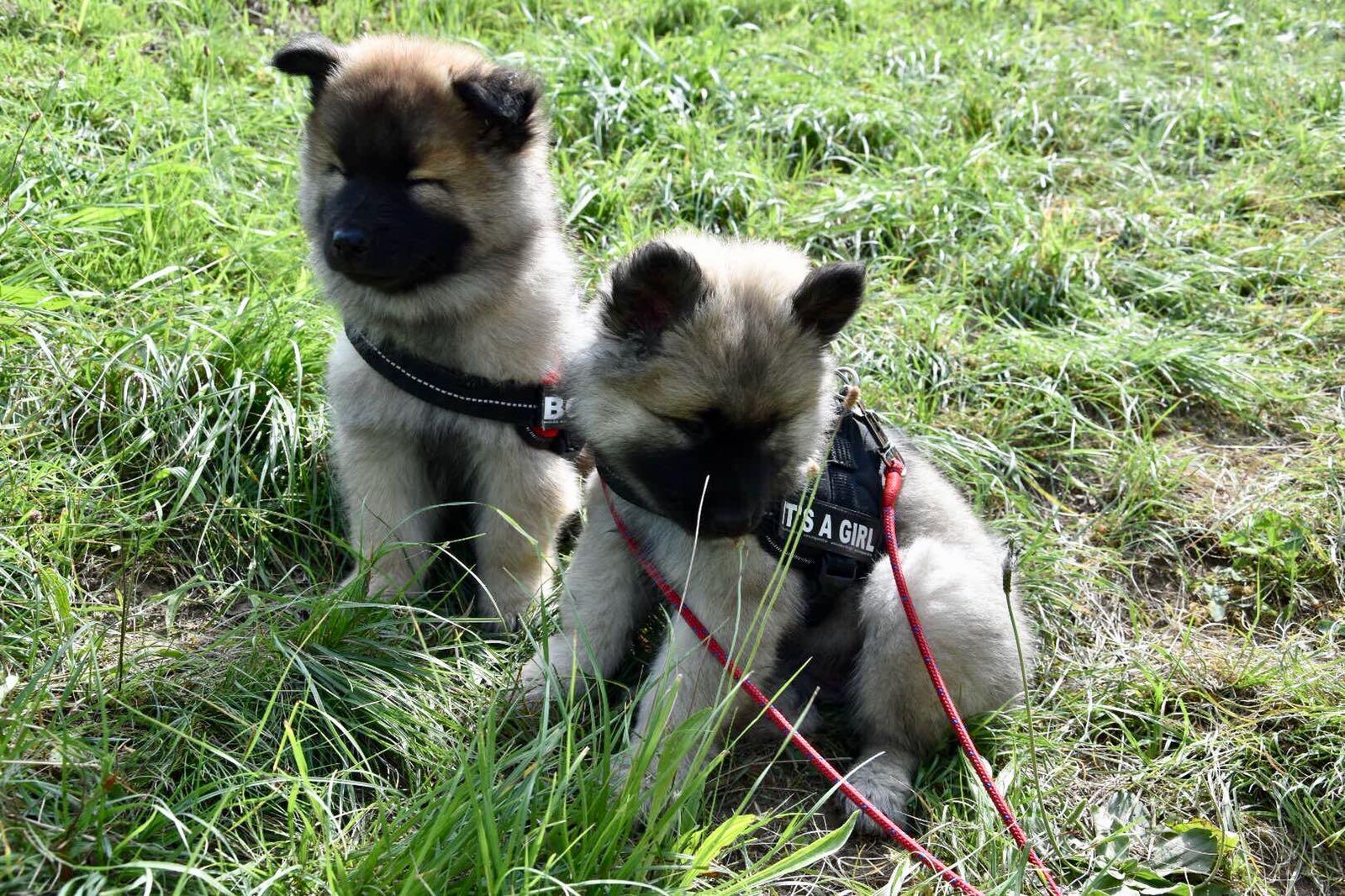 Alasca (stehende Ohren) und Ayko (2)