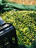 Healthy green olives