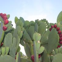 Indian Fig Cactus Tree
