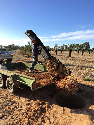 Planting Date Palm Offshoots
