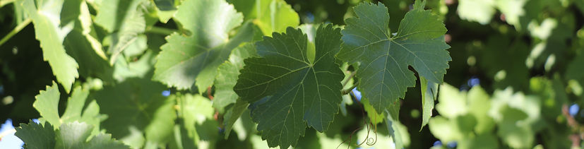 Gurra Downs Vineyard