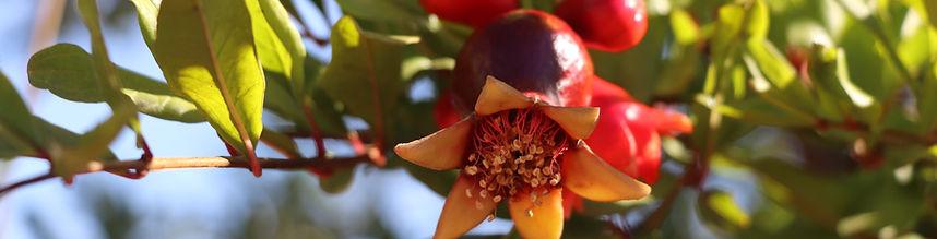 Gurra Downs Pomegrante