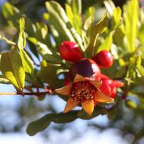 Pomegranate 'Wonderful'