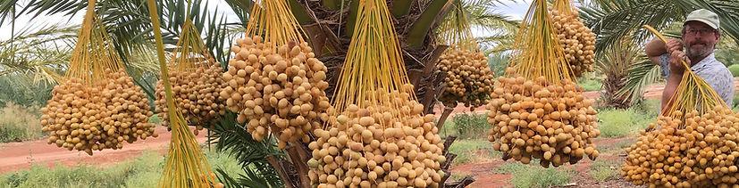 Riverland Barhee Barhi Dates