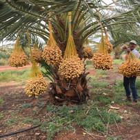 Our Australian Organic Barhee