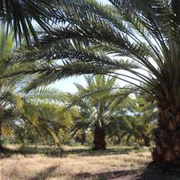 Our Riverland Date Plantation