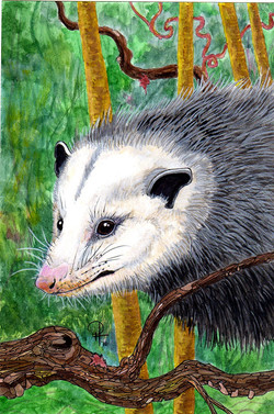 opossum6558.jpg