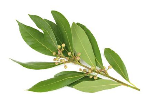 Laurel Leaf Oil, Bay Laurel