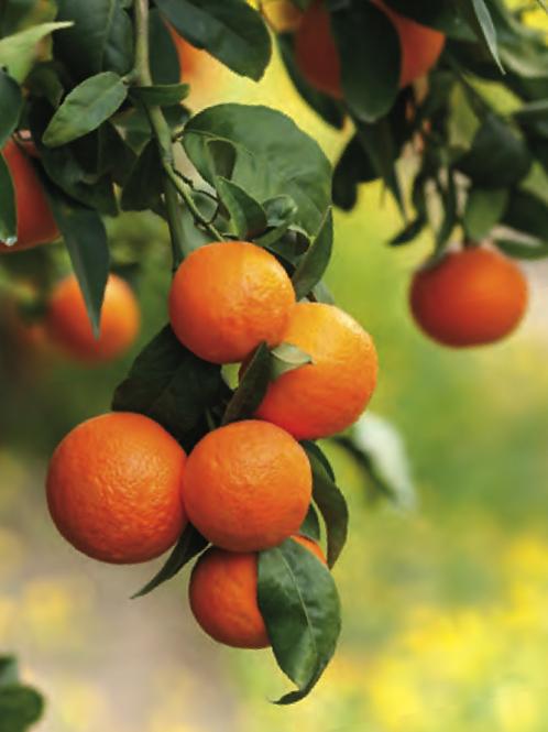 Orange Oil, Wild