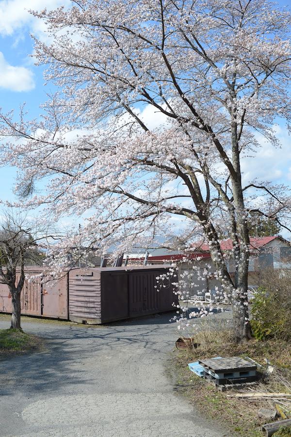 サクラ咲く2020.4月