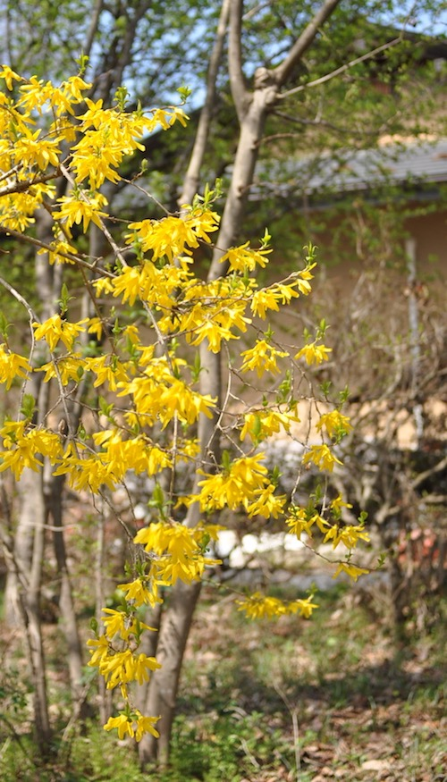 4月・レンギョウの黄