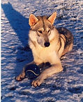 Yogi Tamaskan Dog Blustag Arctic Breeds Blufawn Poachers Farm mixed breeds puppies scam liars