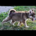 sick Tamaskan sickly wormy puppy puppies mixed breed Husky Malamute mill