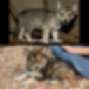 Tamaskan puppy compared to mixed breed puppy puppies
