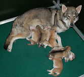 Tamaskan puppies puppy