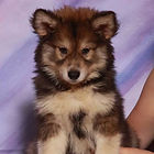 puppy mill product scam mixed breed husky puppies malamute Tamaskan mix Right Puppy Kennel Blustag Yadkin Wolf Den Loving Pup Resort and Spa My Shiba