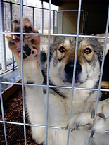 Tamaskan kenneled at a puppy mill Blustag Right Puppy Kennel