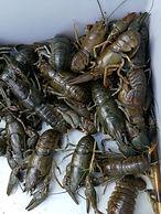 Bild från 11/8 på det tilltagande kräftbeståndet i Viksjön