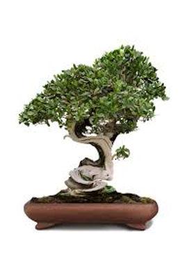 Bobsai tree C.jpg