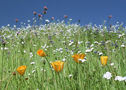 Poppies in Wild Grass
