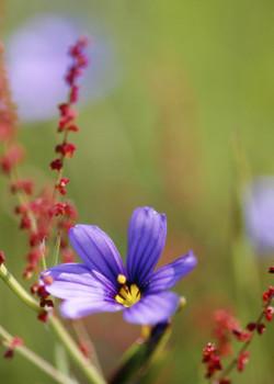 Blue-eyed Grass Emerges