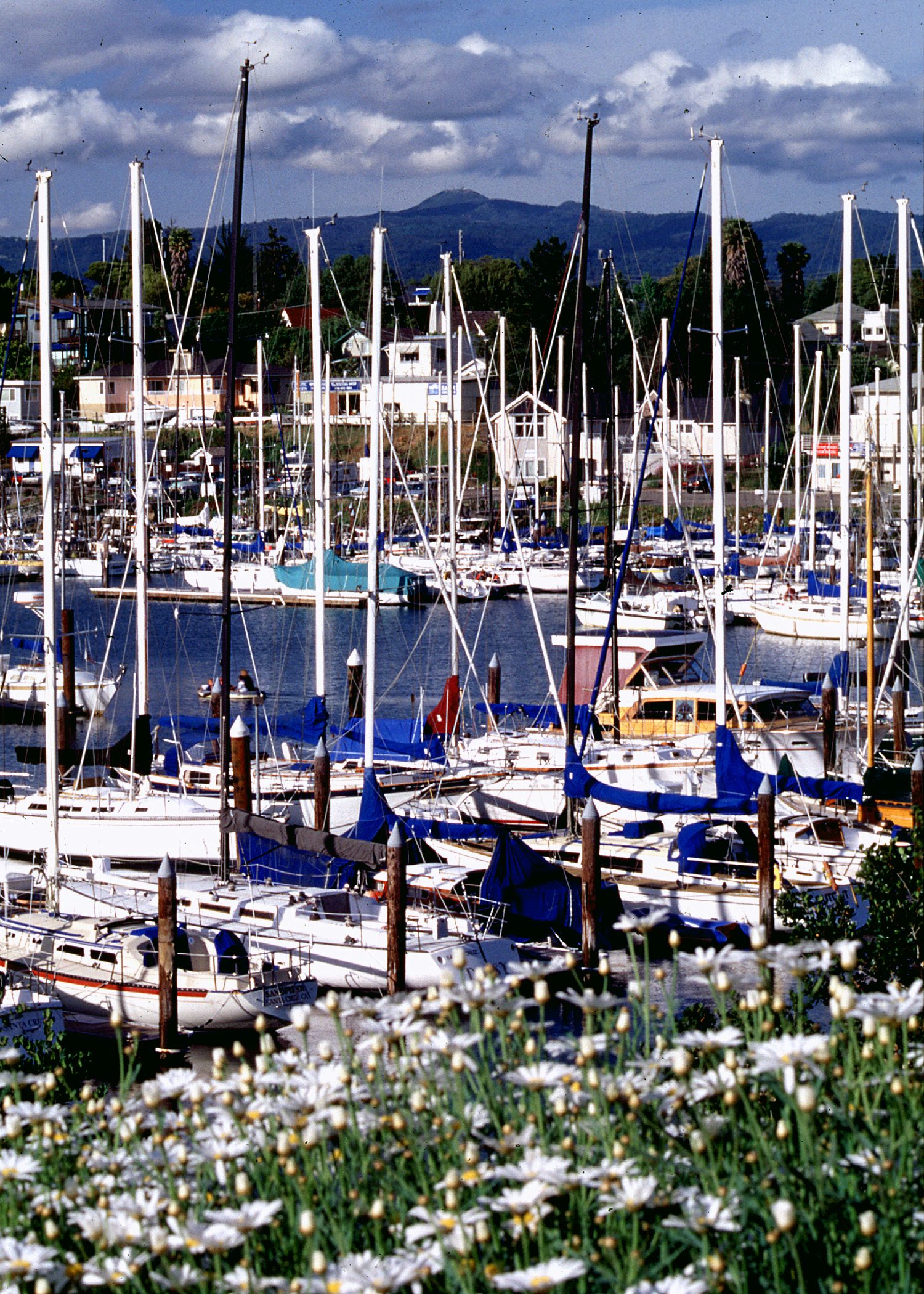 Daisies at Harbor