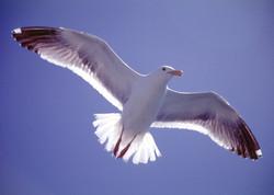 Seagull Soaring.jpg