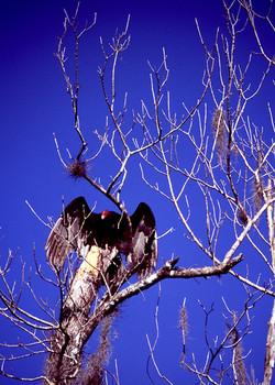 Vulture in Dead Tree