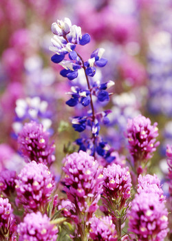 Lupine with Clover