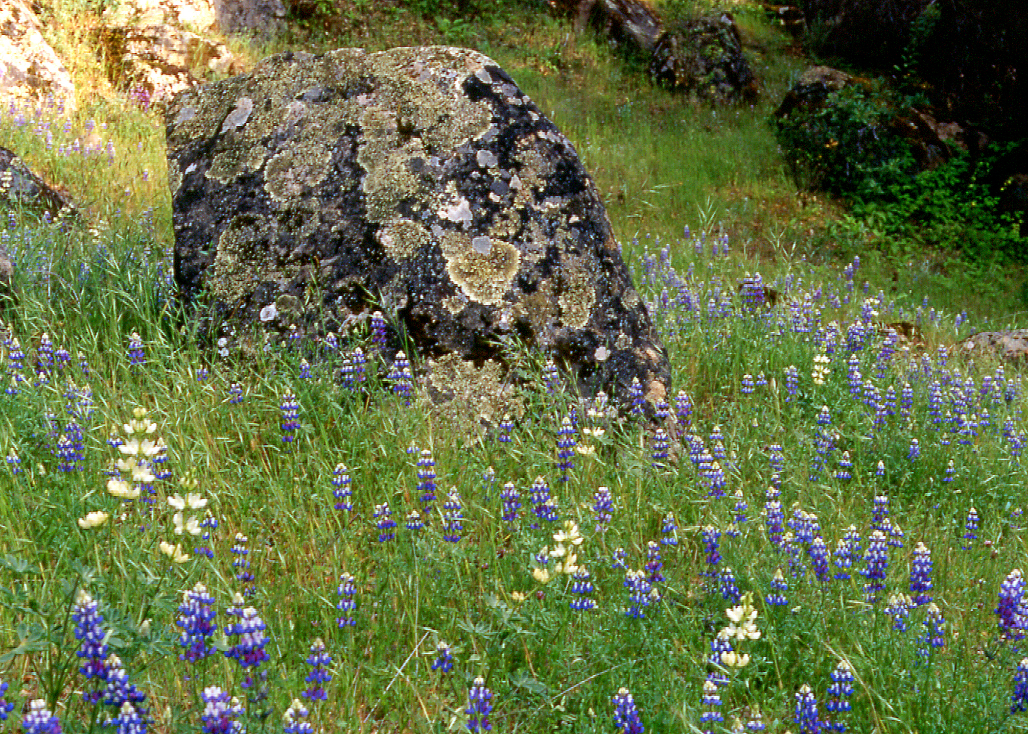 Boulder in Lupine Field