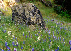 Boulder in Lupine Field