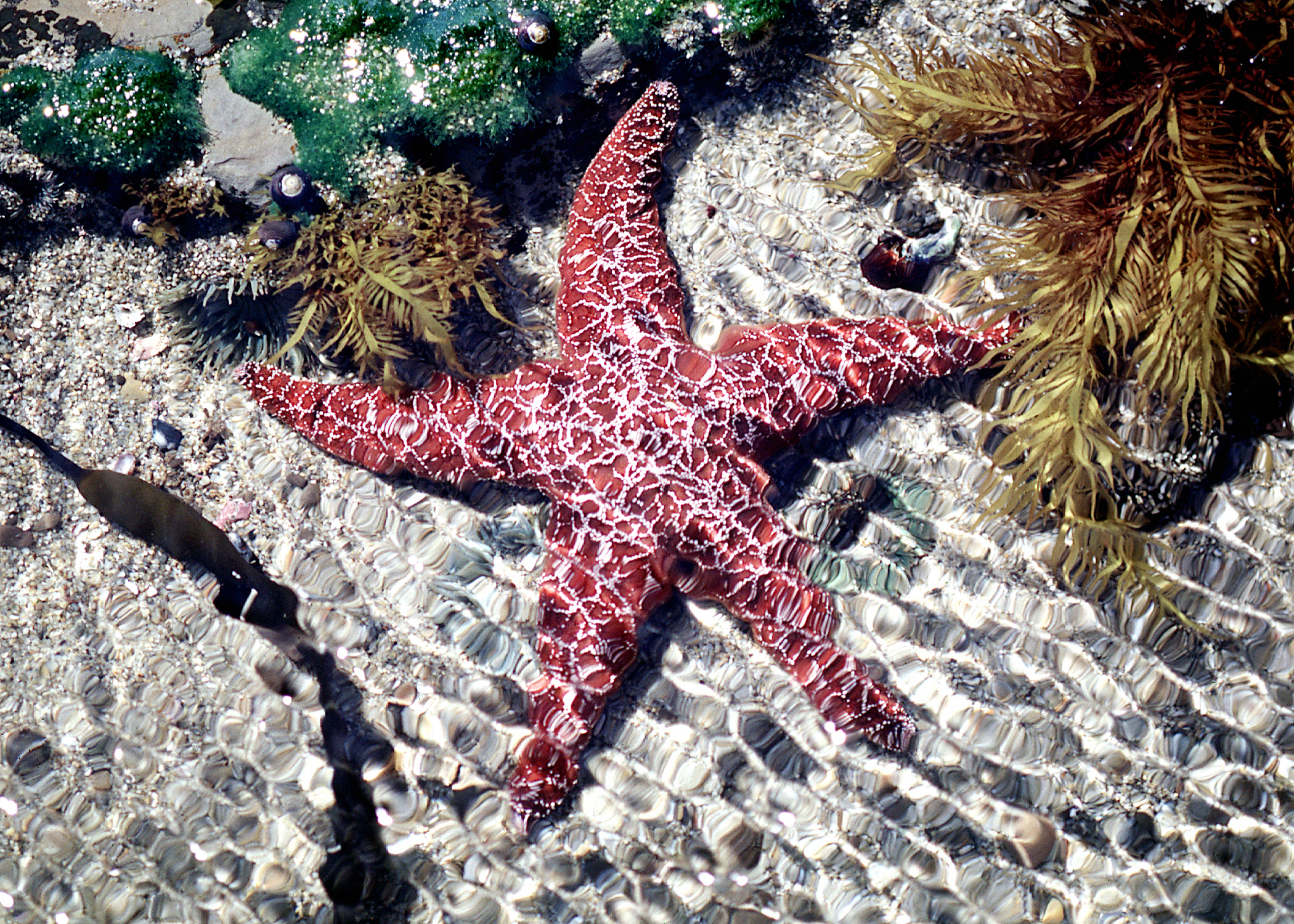 Sea Star in Tidepool