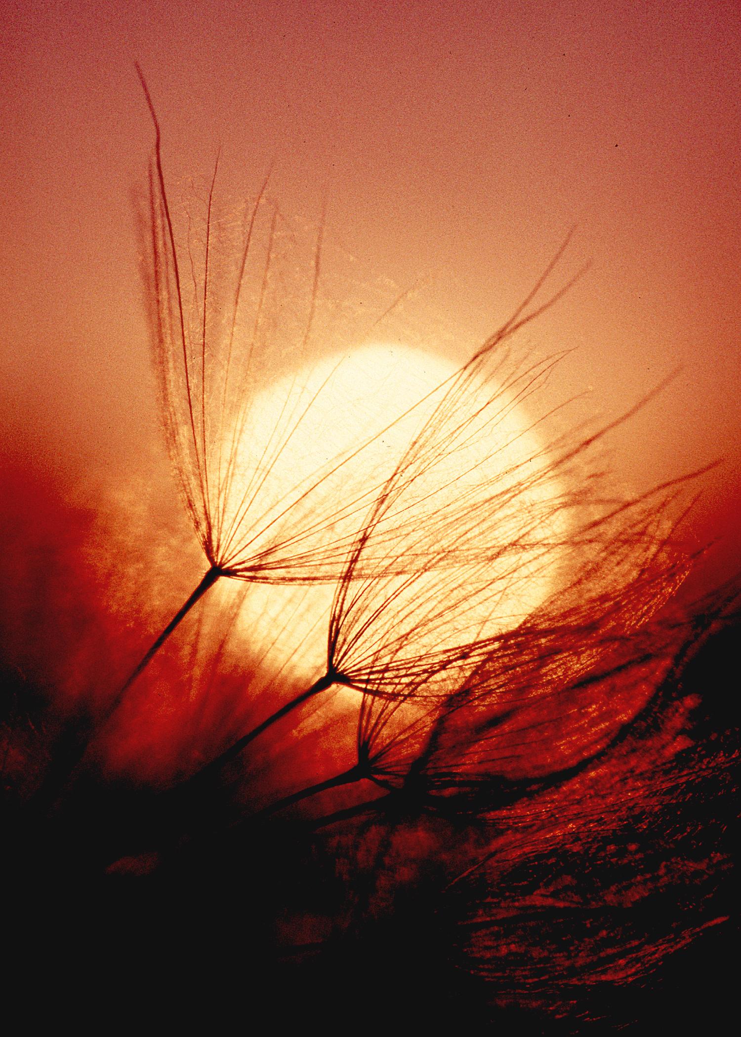 Milkweed at Sunset