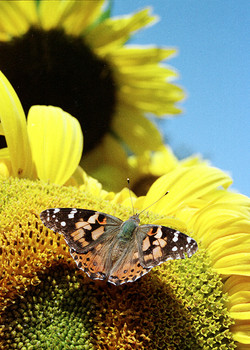 Painted Lady on Sunflower