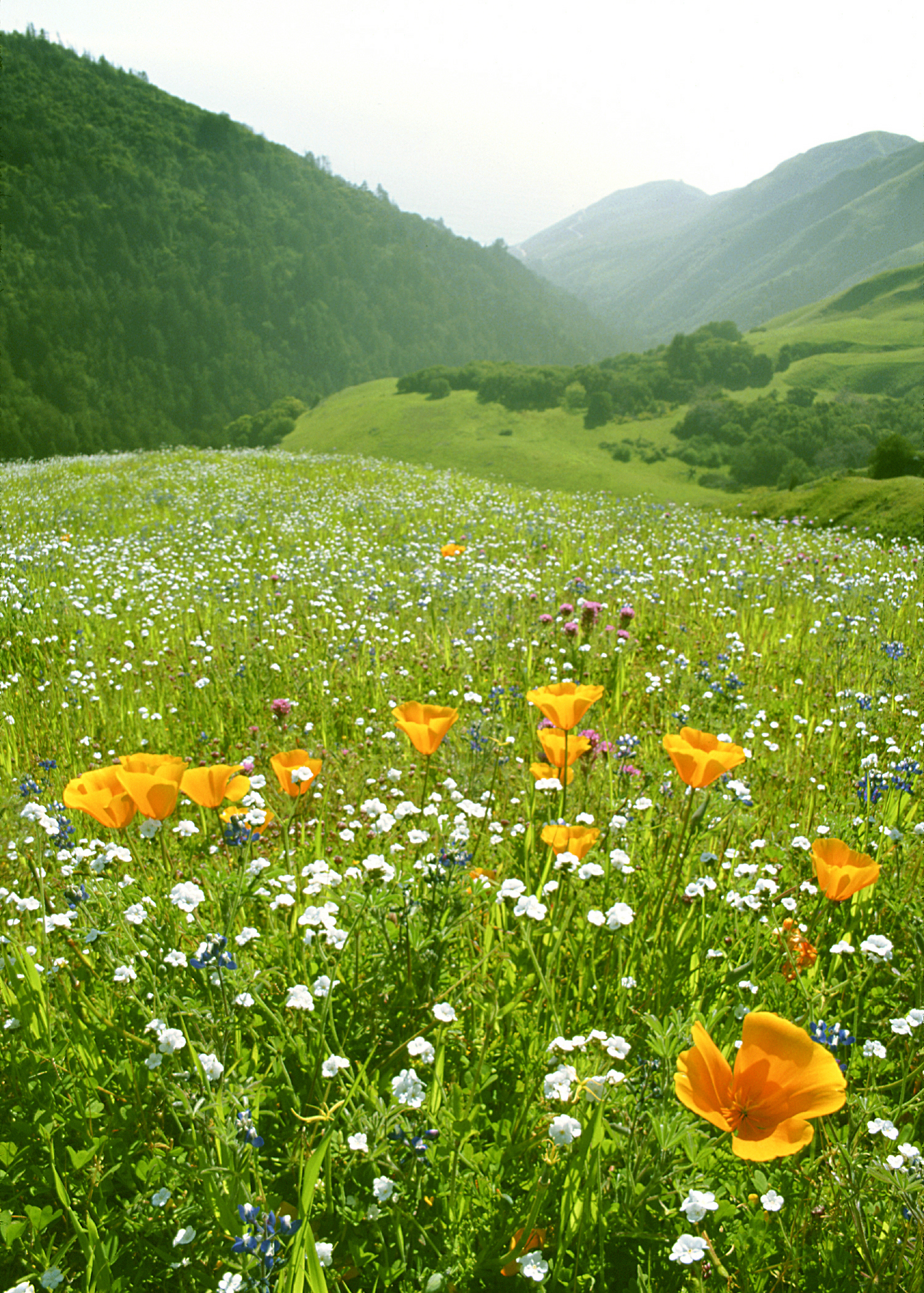 Poppies on Rolling Hill