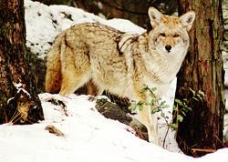 Coyote in Snow.jpg