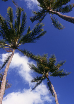 Towering Palms