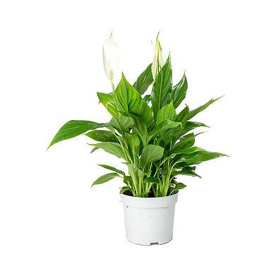 Spathiphyllum-Bellini.jpg