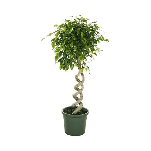 Ficus Benjamina double spiral