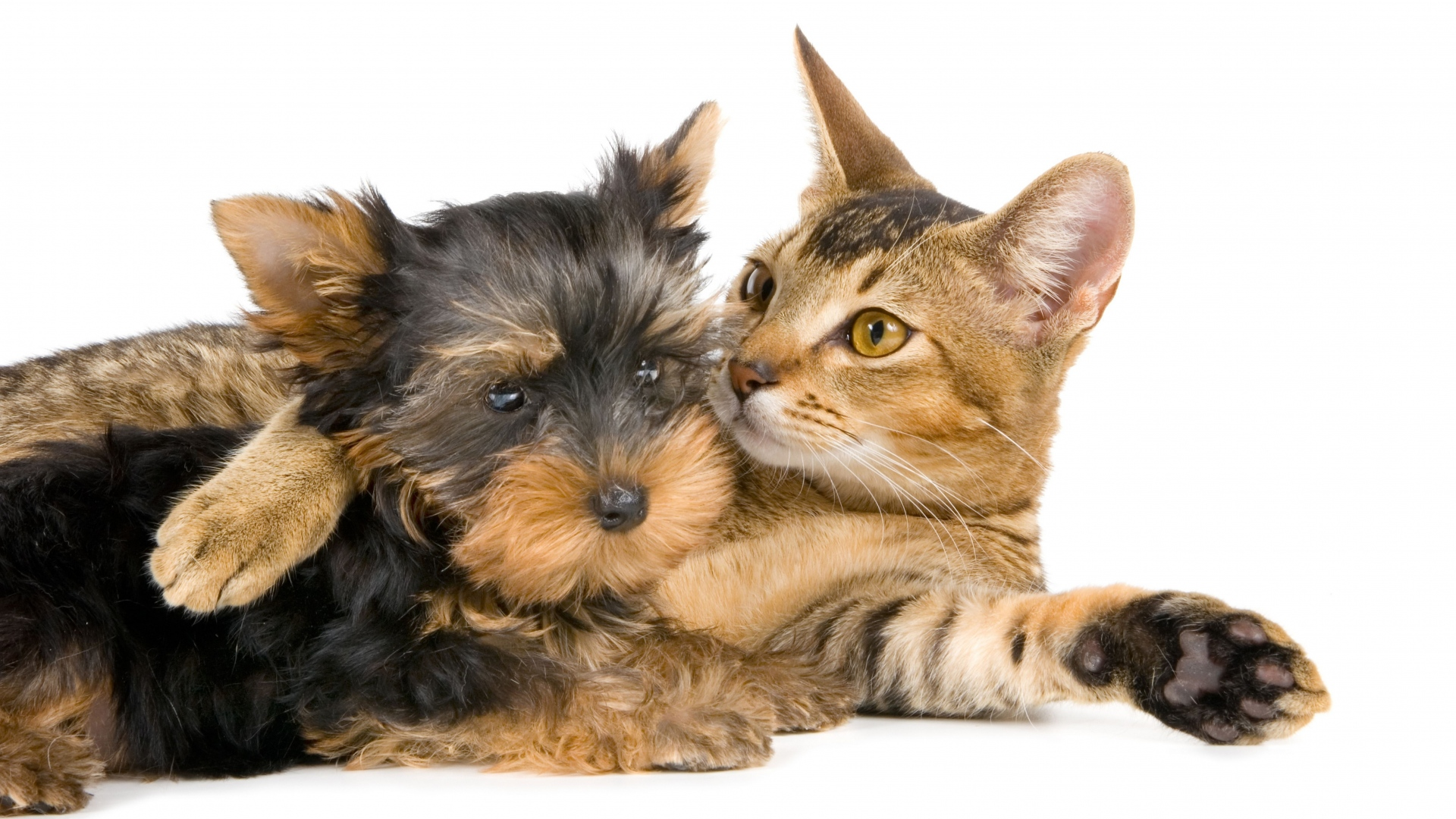 yorkshire_terrier_cat_couple_friendship_59751_1920x1080