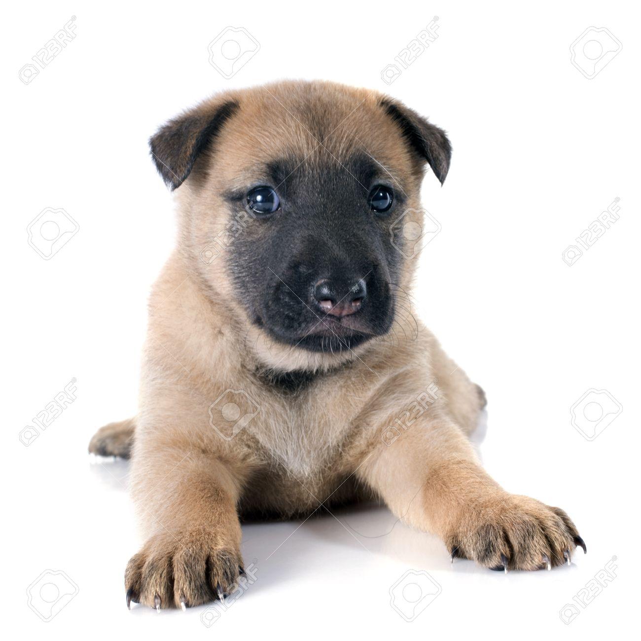 29244319-cachorro-perro-pastor-belga-malinois-en-un-fondo-blanco-Foto-de-archivo