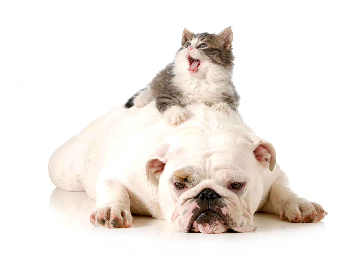 Dogs_Cats_White_background_Bulldog_515372_1280x903