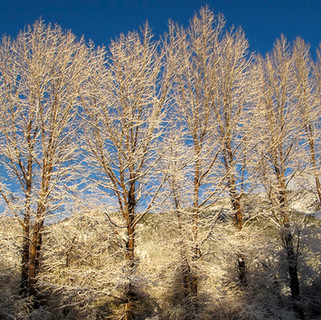 Frosted Poplars